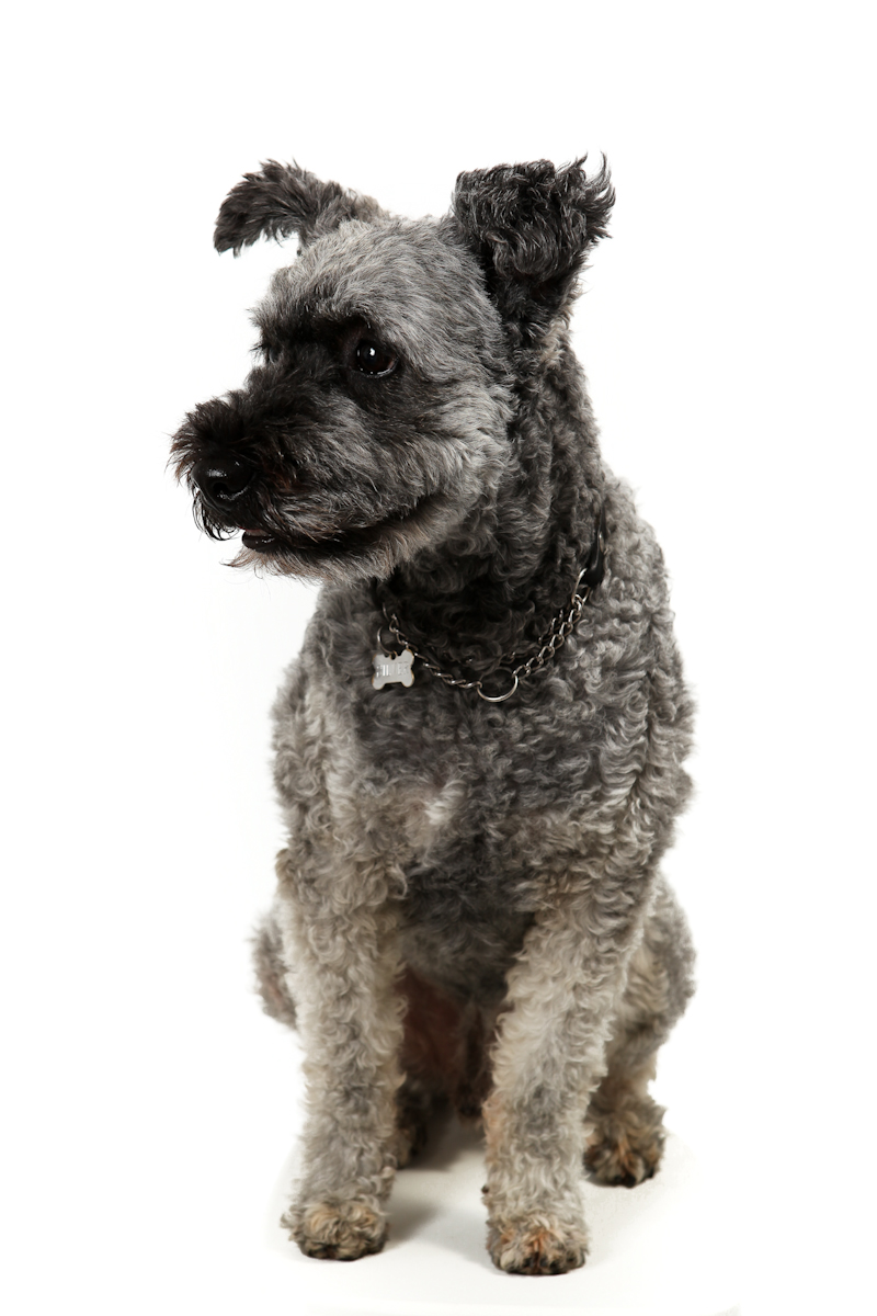 Fin hund. Fotografi på hund som sitter vackert. Studio Jätteliten, Linköping, Fotograf Filip Leo